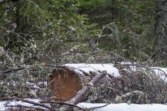 Der Schnee, der spruce bedeckt wird, meldet Wald an Lizenzfreie Stockbilder