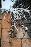 Der schneebedeckte Efeu auf der Wand stockfotos