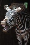 Der Schrei eines Zebra Lizenzfreies Stockbild