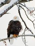 Der schreiende kahle Adler sitzt auf einem Zweig. Lizenzfreies Stockbild