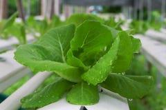 Der Schritt stellte gewachsenes Gemüsewasserkultur ein und wie man sorgfältig wächst Lizenzfreies Stockbild