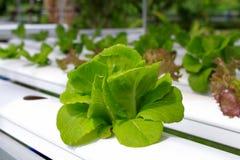 Der Schritt stellte gewachsenes Gemüsewasserkultur ein und wie man sorgfältig wächst Lizenzfreie Stockbilder