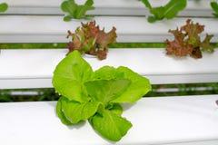 Der Schritt stellte gewachsenes Gemüsewasserkultur ein und wie man sorgfältig wächst Lizenzfreie Stockfotografie