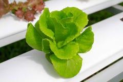 Der Schritt stellte gewachsenes Gemüsewasserkultur ein und wie man sorgfältig wächst Stockfotografie