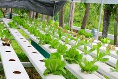 Der Schritt stellte gewachsenes Gemüsewasserkultur ein und wie man sorgfältig wächst Stockfoto