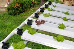 Der Schritt stellte gewachsenes Gemüsewasserkultur ein und wie man sorgfältig wächst Stockbild