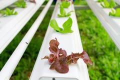 Der Schritt stellte gewachsenes Gemüsewasserkultur ein und wie man sorgfältig wächst Stockbilder