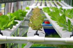 Der Schritt stellte gewachsenes Gemüsewasserkultur ein und wie man sorgfältig wächst Stockfotos