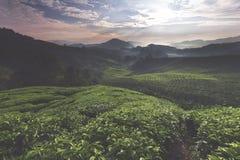 Der Schuss des Sonnenaufgangs über einem Teebauernhof während eines ruhigen Morgens Stockbilder