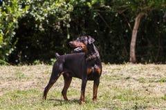 Der Schutzhund par excellence stockbilder