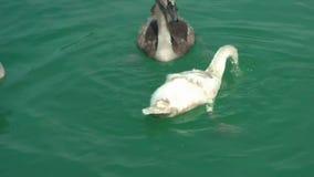 Der Schwan schwimmt auf das Wasser stock footage