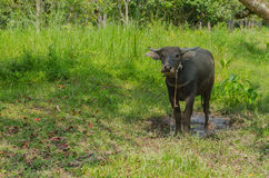 Der schwarze Büffel Lizenzfreie Stockfotografie