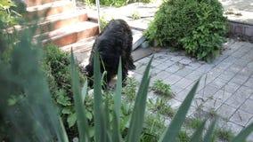 Der schwarze Hund, der in das Yard geschlichen wurde, aß Nahrung, Pipis auf dem Busch stock video footage