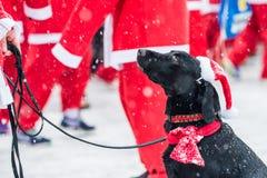 Der schwarze Hund, der herauf als Sankt gekleidet wird, nimmt am Nächstenliebeereignis Stockholm Santa Run in Schweden teil stockfotografie