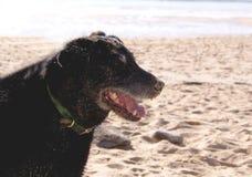 Der schwarze Hund von Quiberon Stockfotografie