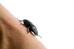 Der schwarze Käfer Lizenzfreies Stockbild