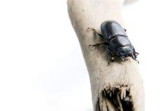 Der schwarze Käfer Stockbild