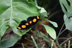 Der schwarze Schmetterling mit orange Trübungen Lizenzfreies Stockfoto