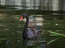 Der schwarze Schwan schwimmt in einen Teich Lizenzfreie Stockfotografie