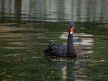 Der schwarze Schwan schwimmt in einen Teich Lizenzfreies Stockfoto