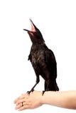 Der schwarze Vogel sitzt auf einer Hand Lizenzfreies Stockfoto