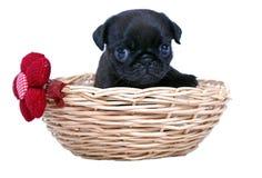 Der schwarze Welpe eines Pug sitzt in einem geflochten Korb Stockfotografie