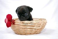 Der schwarze Welpe eines Pug sitzt in einem geflochten Korb mit einem roten Bogen Stockfotos