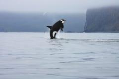 Der Schwertwal springend in das wilde Stockbild