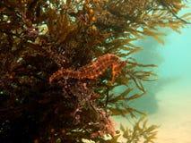 Der Seahorse des Weiß Lizenzfreies Stockfoto