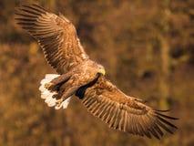 Der Seeadler, Haliaeetus albicilla fliegt in Herbstfarbumwelt von wild lebenden Tieren Alias das ERN, Erne, Grau lizenzfreies stockbild