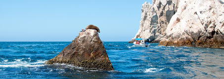Der Seelöwe, der auf Berggipfel-Felsen an den Ländern stillsteht, beenden in Cabo San Lucas Baja Mexiko Stockfotografie