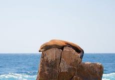 Der Seelöwe, der auf Berggipfelfelsen an den Ländern sich sonnt und faulenzt, beenden bei Cabo San Lucas Baja California Mexiko Stockfotografie