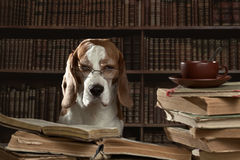 Der sehr intelligente Hund, der alte Bücher in der Bibliothek studiert Lizenzfreies Stockfoto