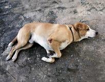 Der sehr kranke Hund mit dem Schauen von traurigen Augen Lizenzfreie Stockfotografie
