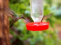 Der selten gesehene weibliche ausgezeichnete Kolibri Lizenzfreie Stockfotos