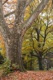 Der seltene alte Baum im Fall Stockfoto