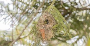 Der seltene, bedrohte u. endemische weibliche Usambara Doppel-ergatterte Sunbird stockfoto