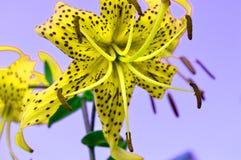 Der seltsame Effekt von schönen gelben Blumen auf einen lila Hintergrund, quer-verarbeitet, Blumentiger Lilie Lustiges Foto stockfotografie