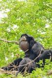 Der Siamang Gibbon Stockbilder