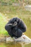 Der Siamang Gibbon (Symphalangus syndactylus) trinkt Lizenzfreies Stockbild