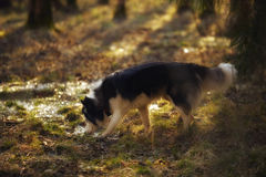 Der sibirische Schlittenhund Stockfotos