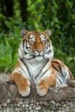 Der sibirischer Tiger Pantheratigris-altaica Lizenzfreie Stockfotos