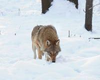 Der Siewolf hat eine Produktionsspur gerochen lizenzfreies stockfoto