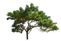Der silk Baum, der im Garten lokalisiert wird auf weißem Hintergrund heranwächst, schaut frisch und schön Stockbild