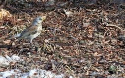 Der Snowbird, der nach Lebensmittel sucht Lizenzfreies Stockfoto
