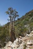 Der Socotra-Wüstenrose-oder Flaschen-Baum Stockbilder