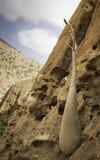 Der Socotra-Wüstenrose-oder Flaschen-Baum (Adenium obesum socotranum) Stockbilder
