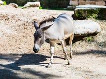 Der somalische Wildesel - Equus Africanus Somaliensis - Wege der Boden und sucht nach Lebensmittel an einem sonnigen Tag Lizenzfreies Stockfoto