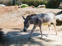 Der somalische Wildesel - Equus Africanus Somaliensis - Wege der Boden und sucht nach Lebensmittel an einem sonnigen Tag Lizenzfreie Stockfotos