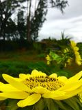 Der Sonnenblumen-Kampf stockbilder